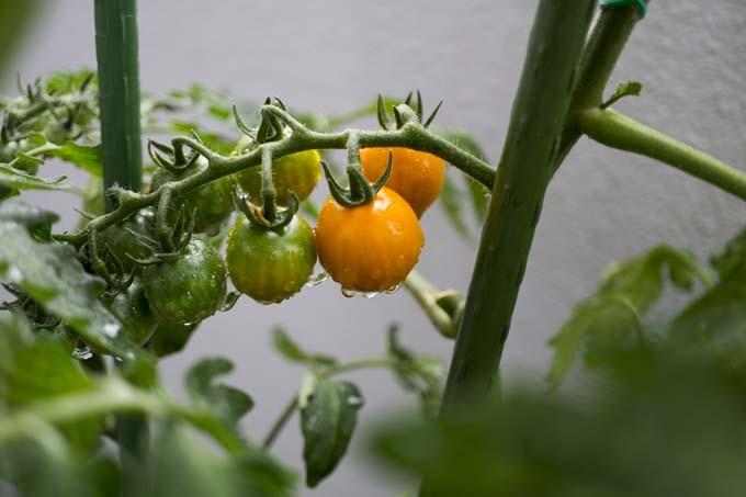 ベランダ菜園ミニトマト