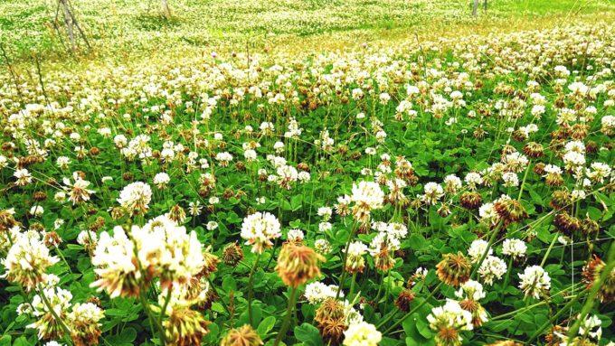 シロツメクサが咲き乱れる