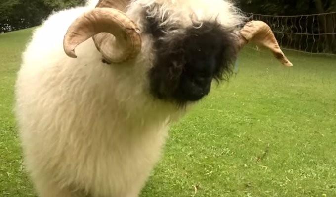 valais-blacknose-sheep03