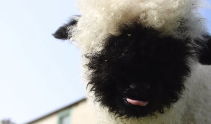 valais-blacknose-sheep04
