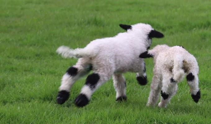 valais-blacknose-sheep05
