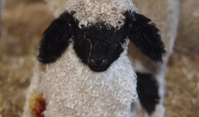 valais-blacknose-sheep08