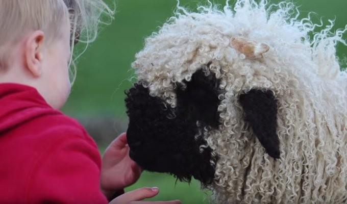 valais-blacknose-sheep09