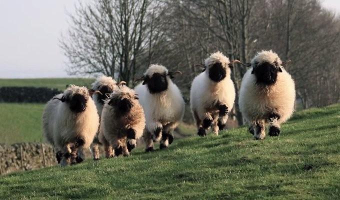 valais-blacknose-sheep10
